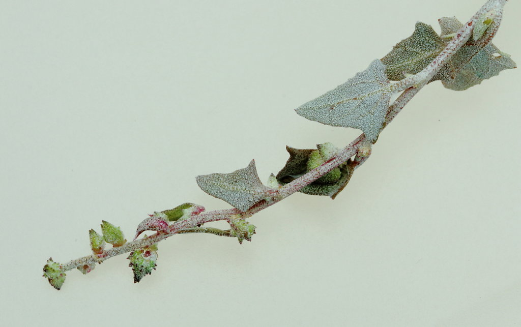 Atriplex laciniata (Frosted Orache)