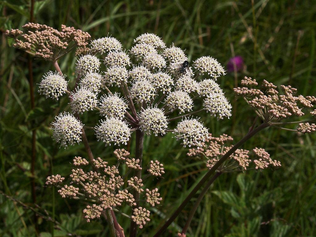 Angelica sylvestris (Wild Angelica)
