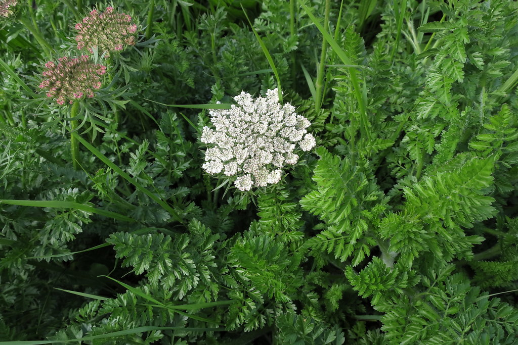 Daucus carota ssp. gummifer (Sea Carrot)