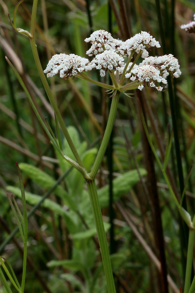 Oenanthe lachenalii (Parsley Water-dropwort)