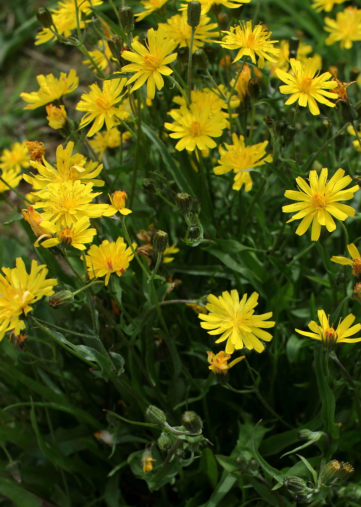 Crepis cappilaris (Smooth Hawk's-beard)