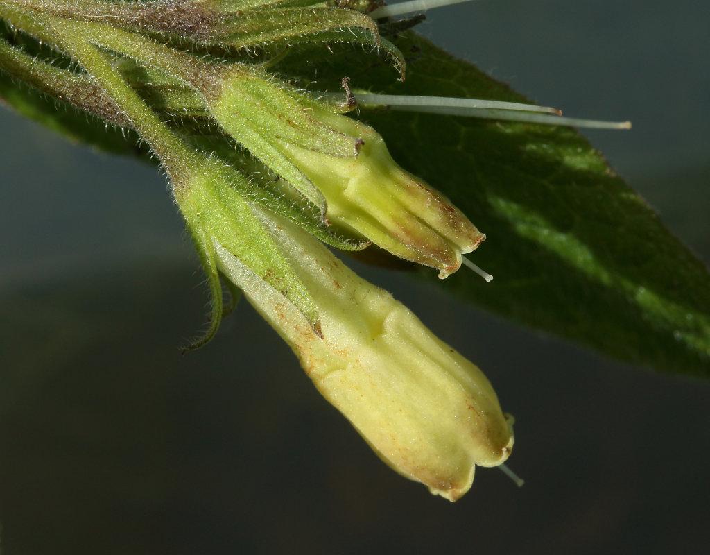 Symphytum tuberosum (Tuberous Comfrey)