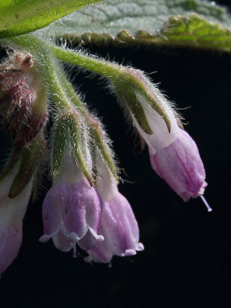 Symphytum officinale ssp. officinale (Common Comfrey)
