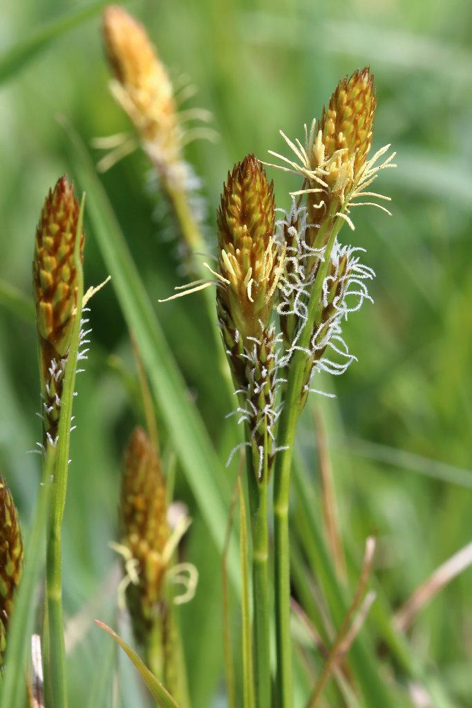 Carex caryophyllea (Spring Sedge)