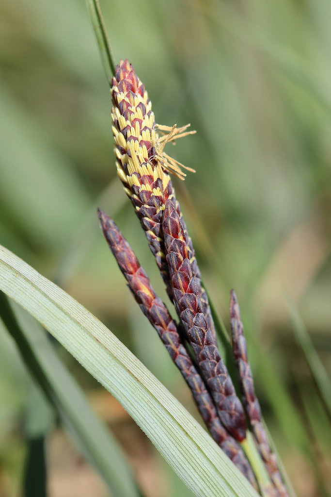 Carex flacca (Glaucous Sedge)
