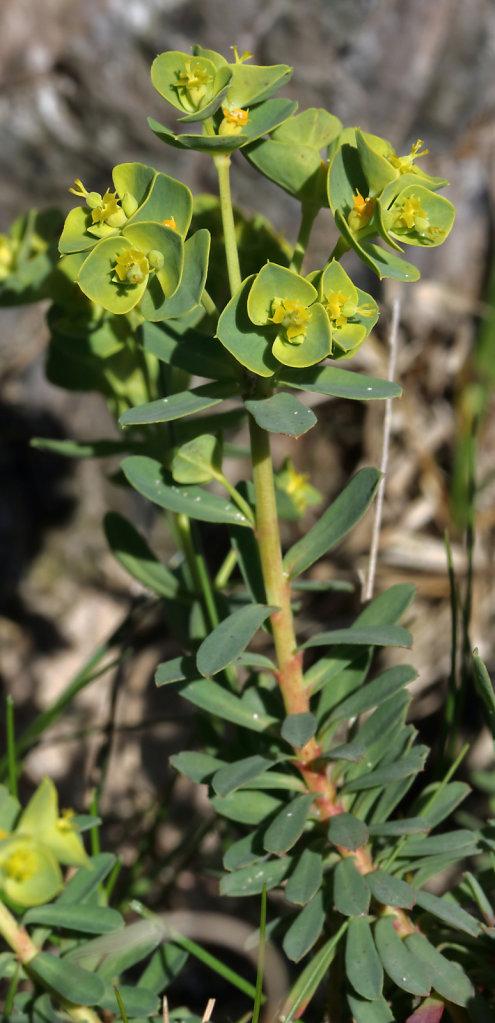 Euphorbia portlandica (Portland Spurge)