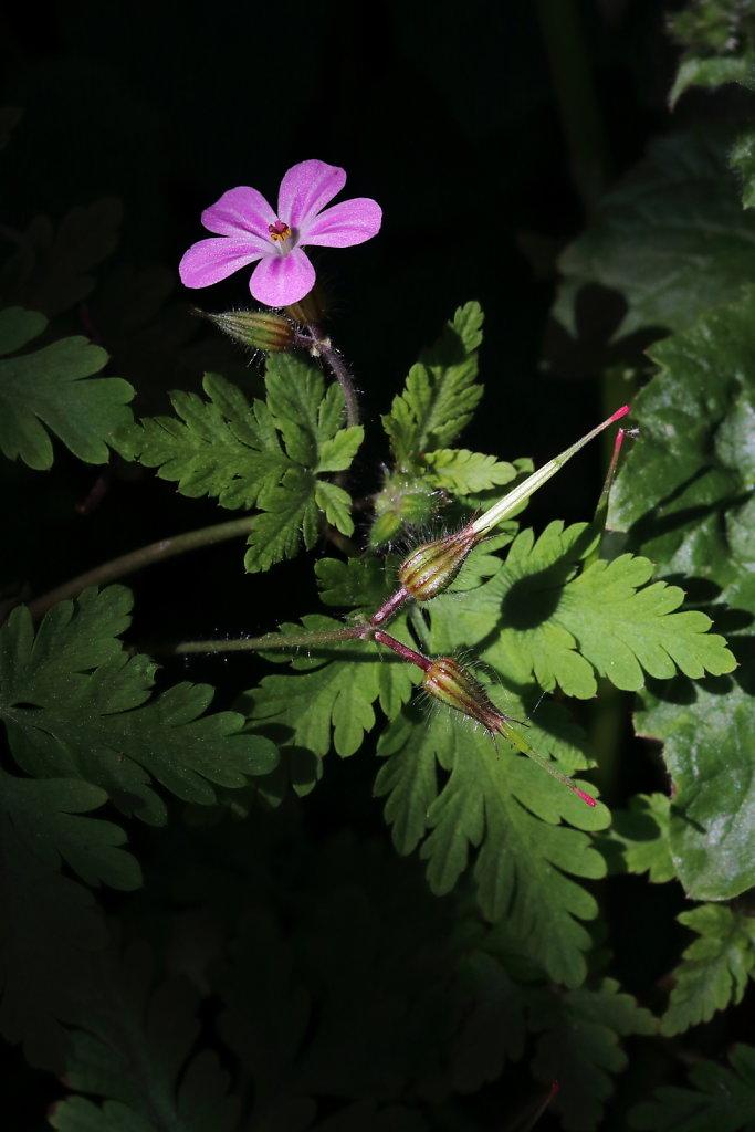 Geranium robertianum (Herb-Robert)