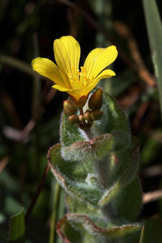 Hypericum elodes (Marsh St John's-wort)