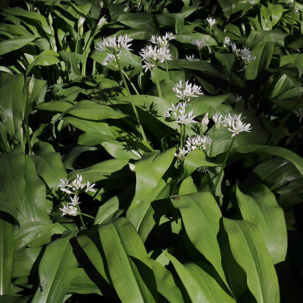 Allium ursinum (Ramsons)