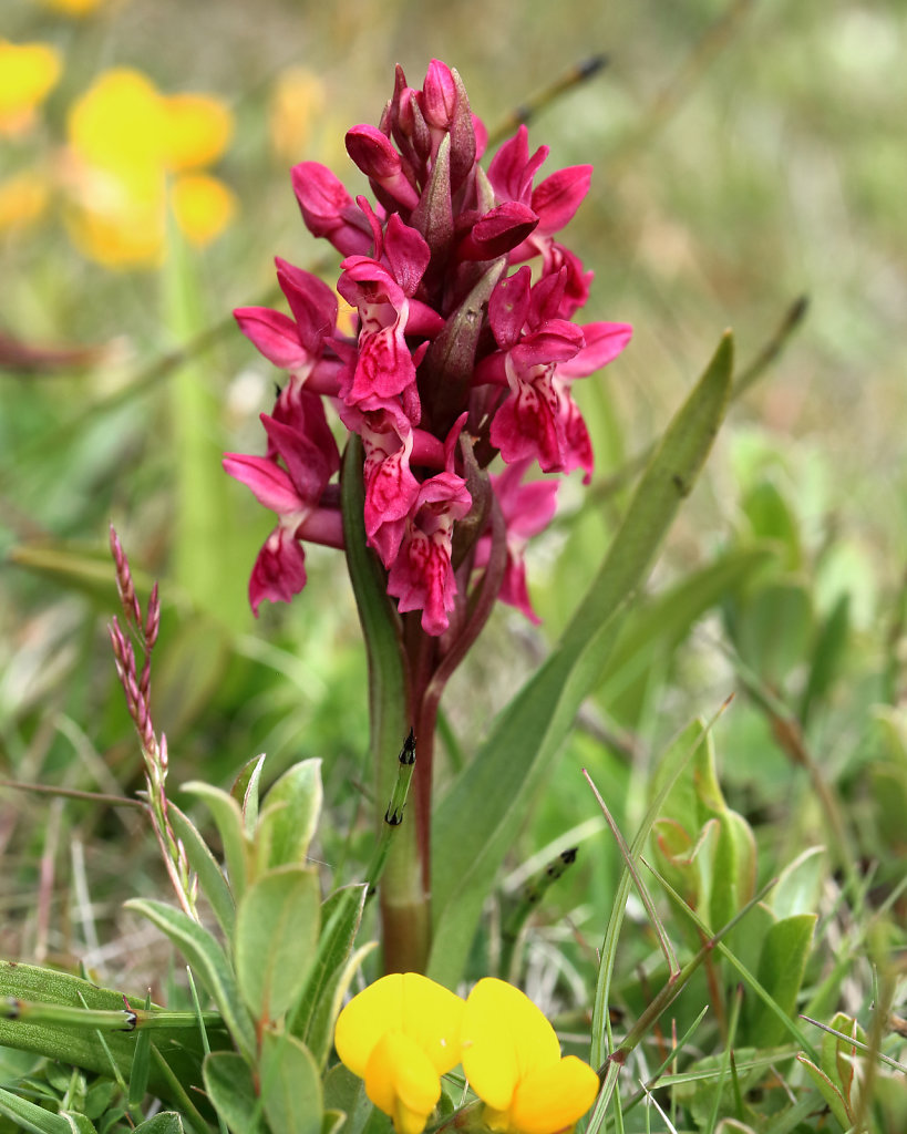 Dactylorhiza incarnata ssp coccinea (Early Marsh-orchid)