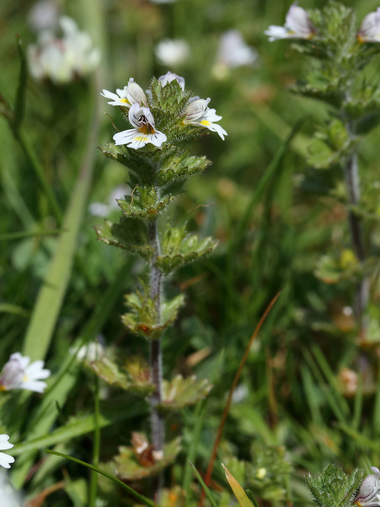 Euphrasia officinalis ssp anglica (English Eyebright)