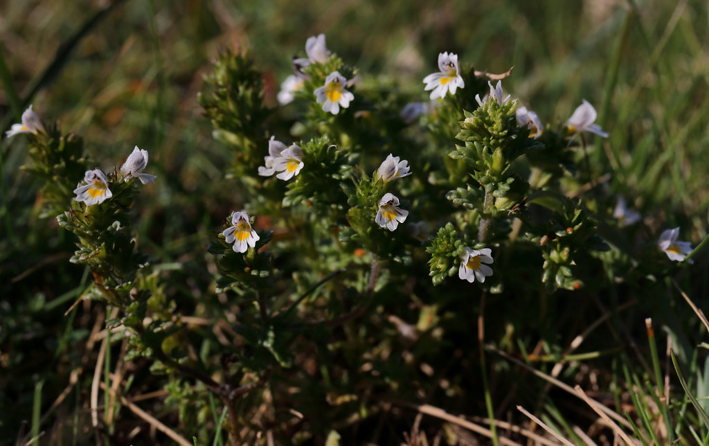 Euphrasia confusa (Confused Eyebright)
