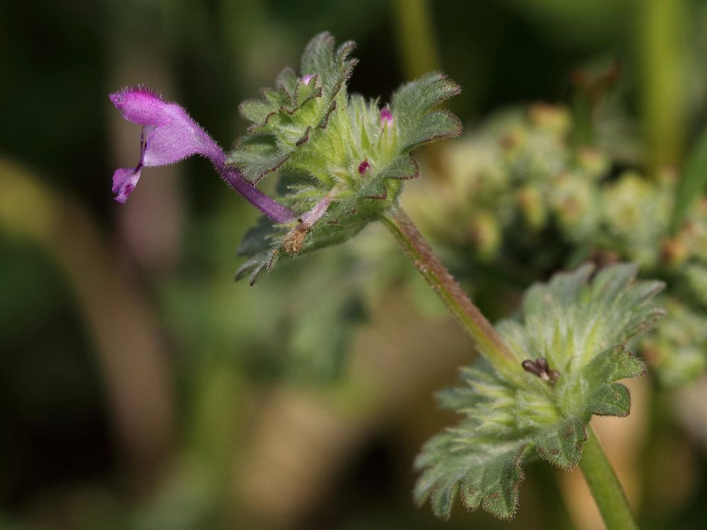 Lamium amplexicaule (Henbit Dead-nettle)