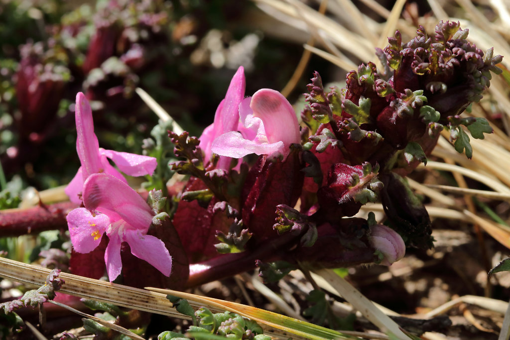 Pedicularis sylvatica (Lousewort)