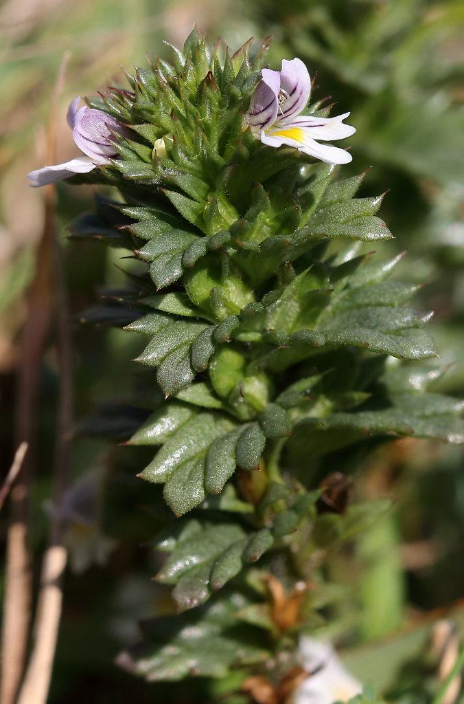 Euphrasia tetraquetra (Western Eyebright)