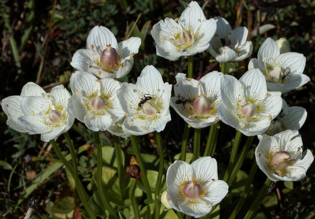 Parnassia palustris (Grass-of-Parnassus)