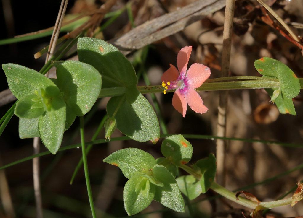 Anagallis arvensis (Scarlet Pimpernel)