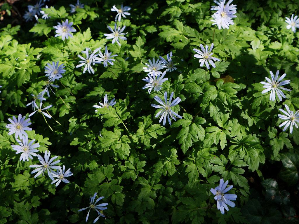 Anemone apennina (Blue Anemone)