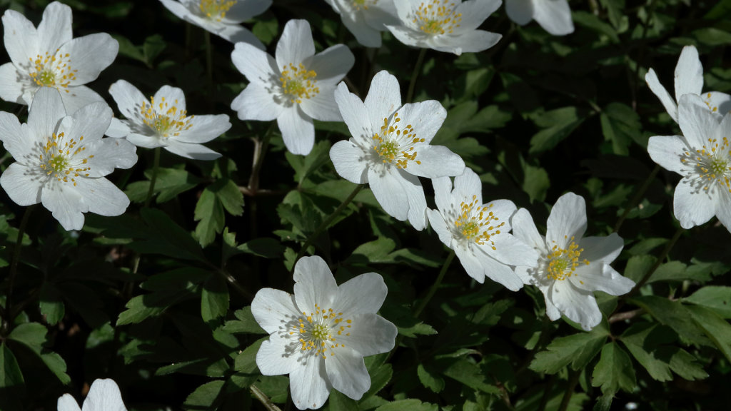 Anemone nemorosa (Wood Anemone)