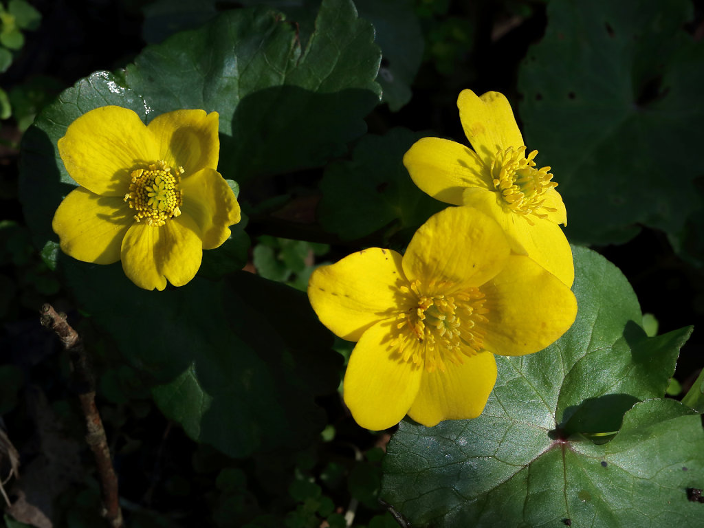 Caltha palustris (Marsh-marigold)
