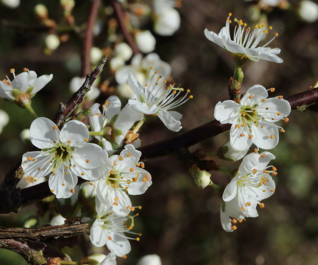 Prunus spinosa (Blackthorn)