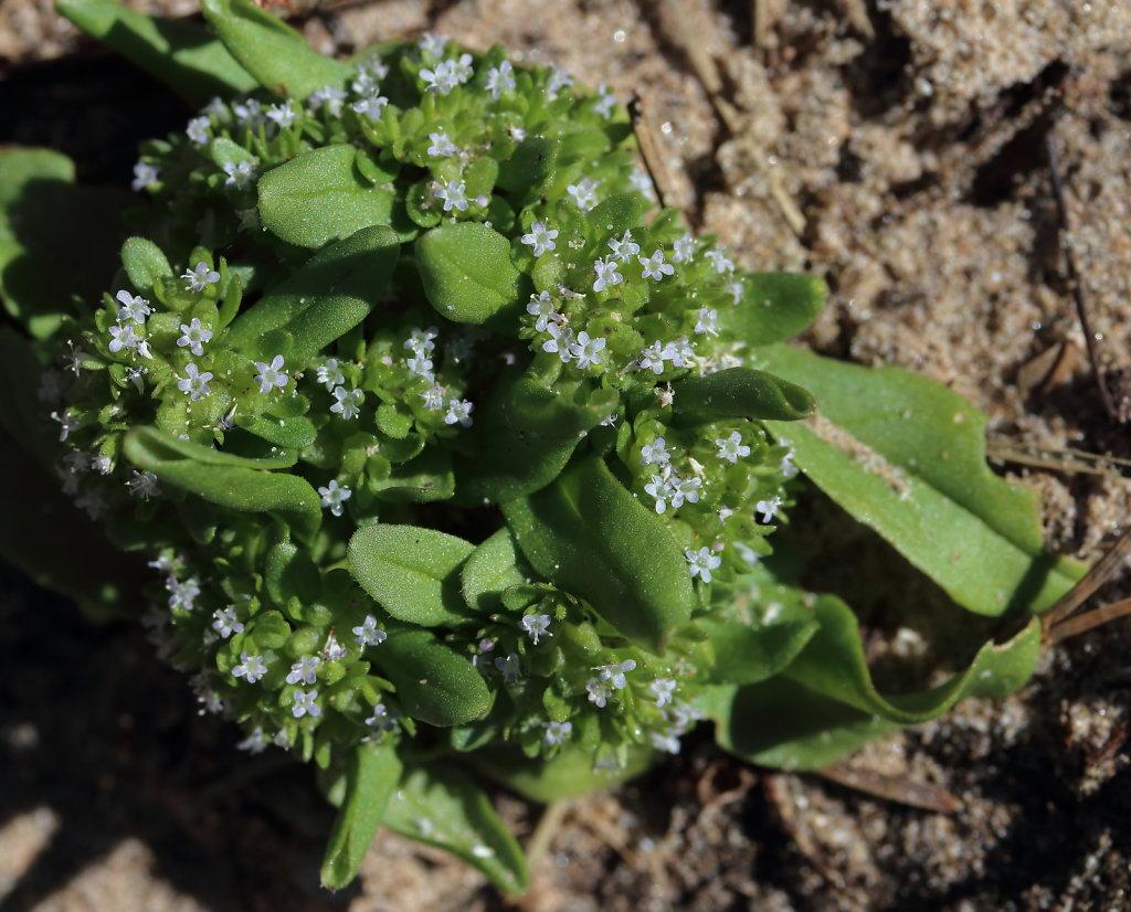 Valerianella locusta (Common Cornsalad)