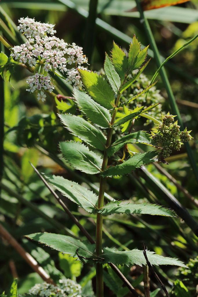 Berula erecta (Lesser Water-parsnip)