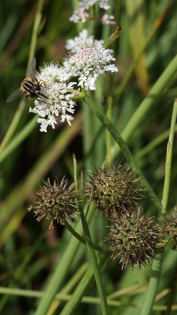 Oenanthe fistulosa (Tubular Water-dropwort)