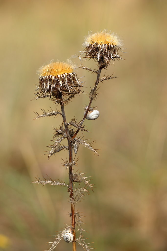 Carlina vulgaris (Carline Thistle)