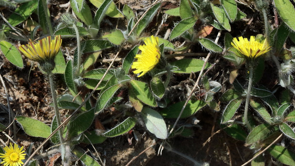 Pilosella officinarum (Mouse-ear-hawkweed)