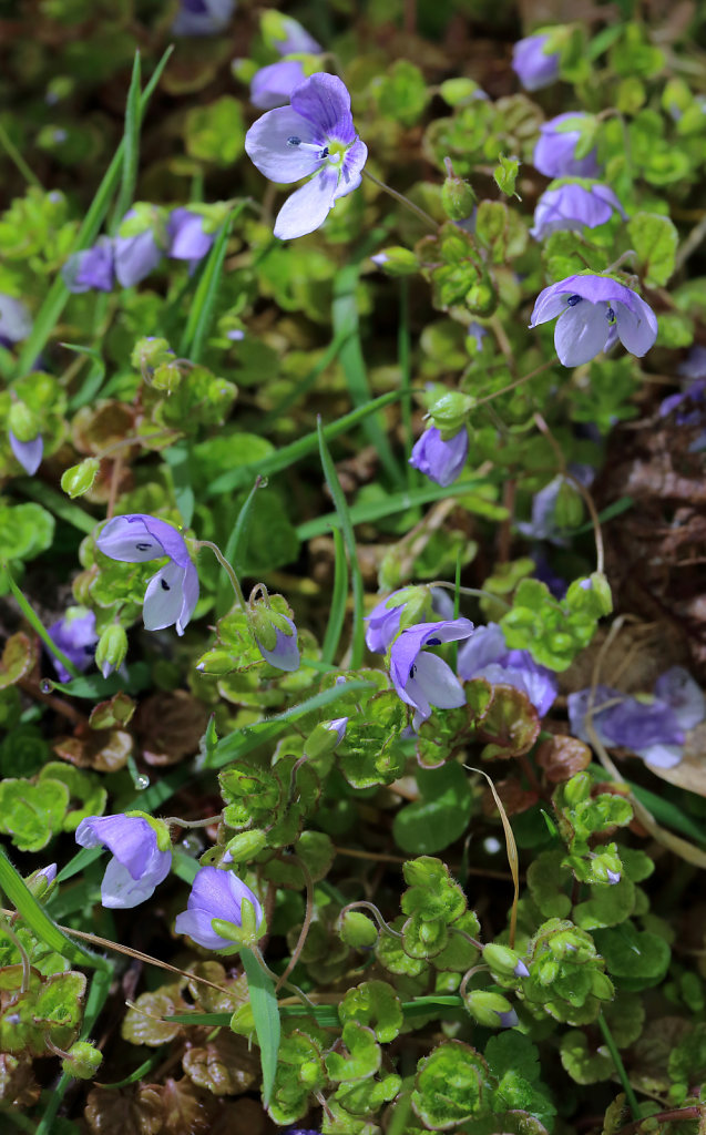 Veronica filiformis (Slender Speedwell)