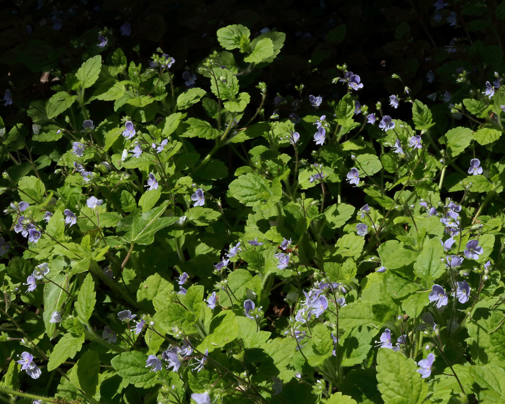 Veronica montana (Wood Speedwell)