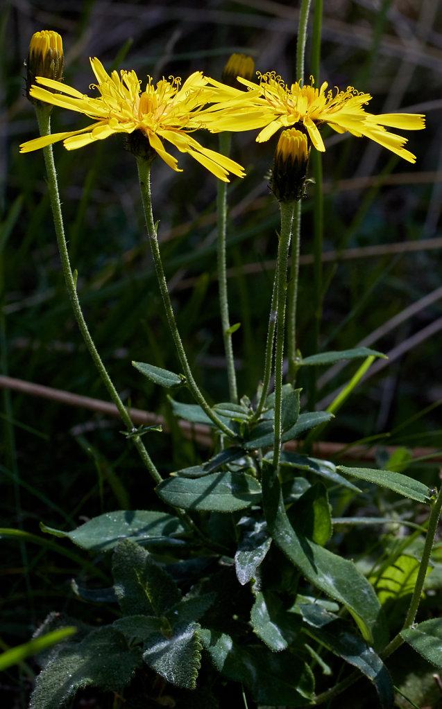 Hieracium umbellatum sect. hieracioides