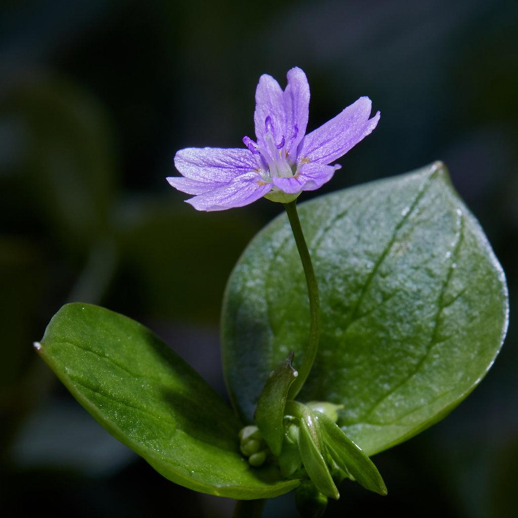 Claytonia sibirica (Pink Purslane)