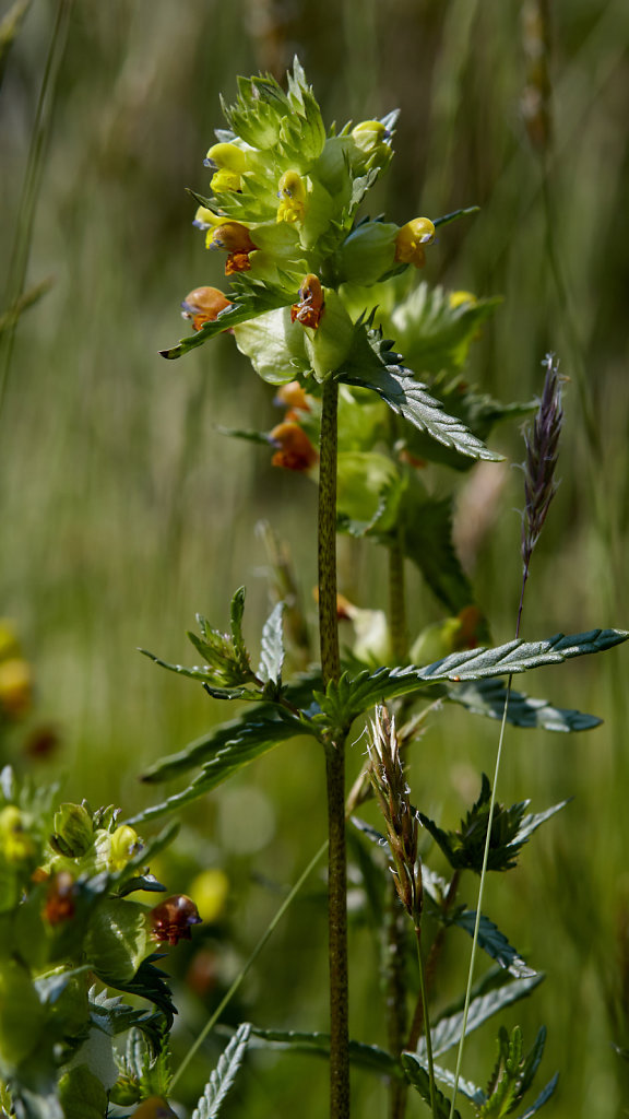 Rhinanthus minor (Yellow-rattle)