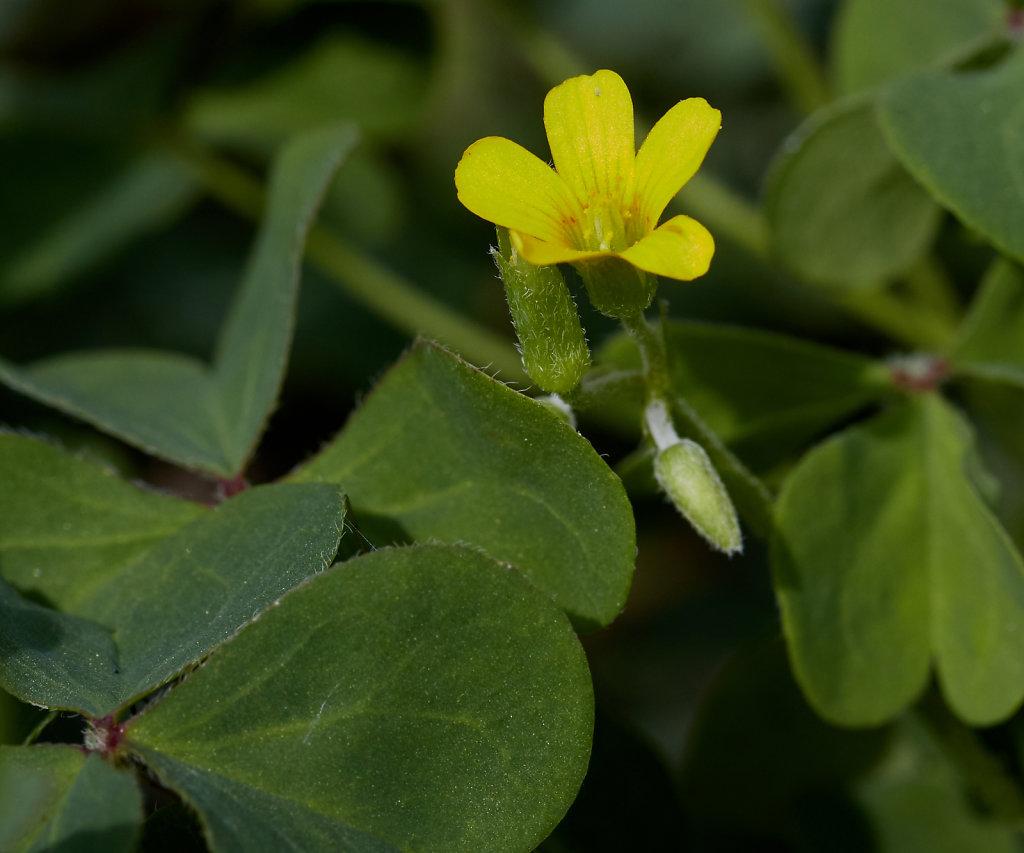 Oxalis corniculata (Procumbent Yellow-sorrel)