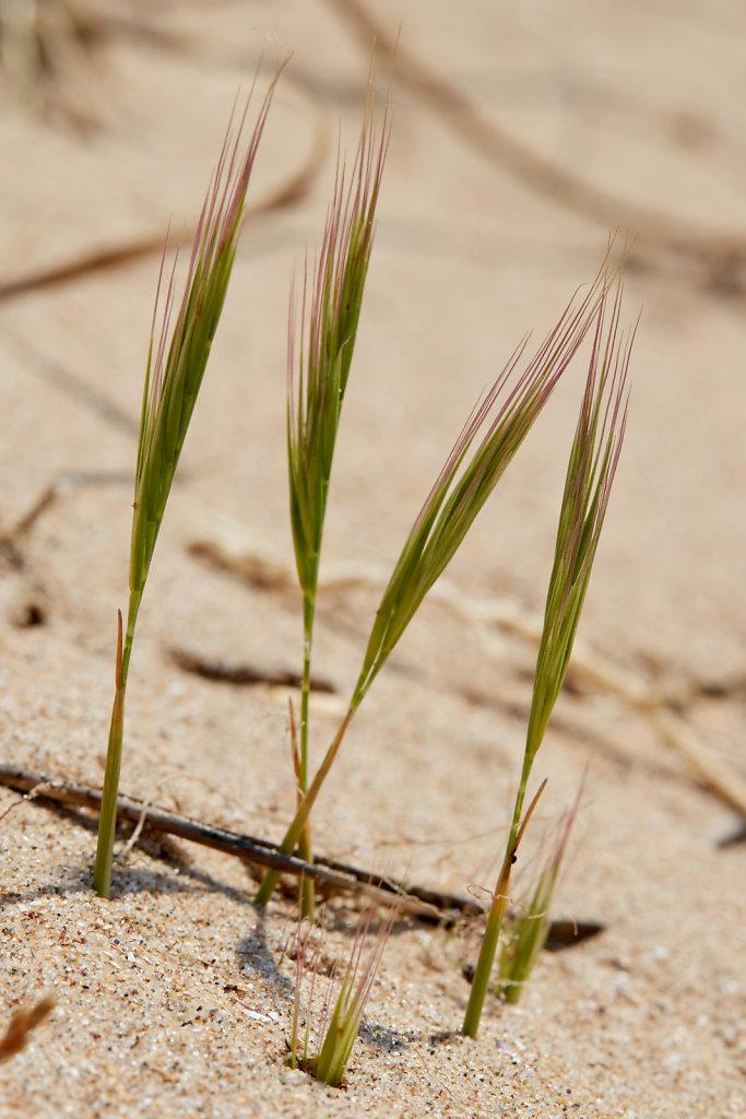 Vulpia fasciculata (Dune Fescue)