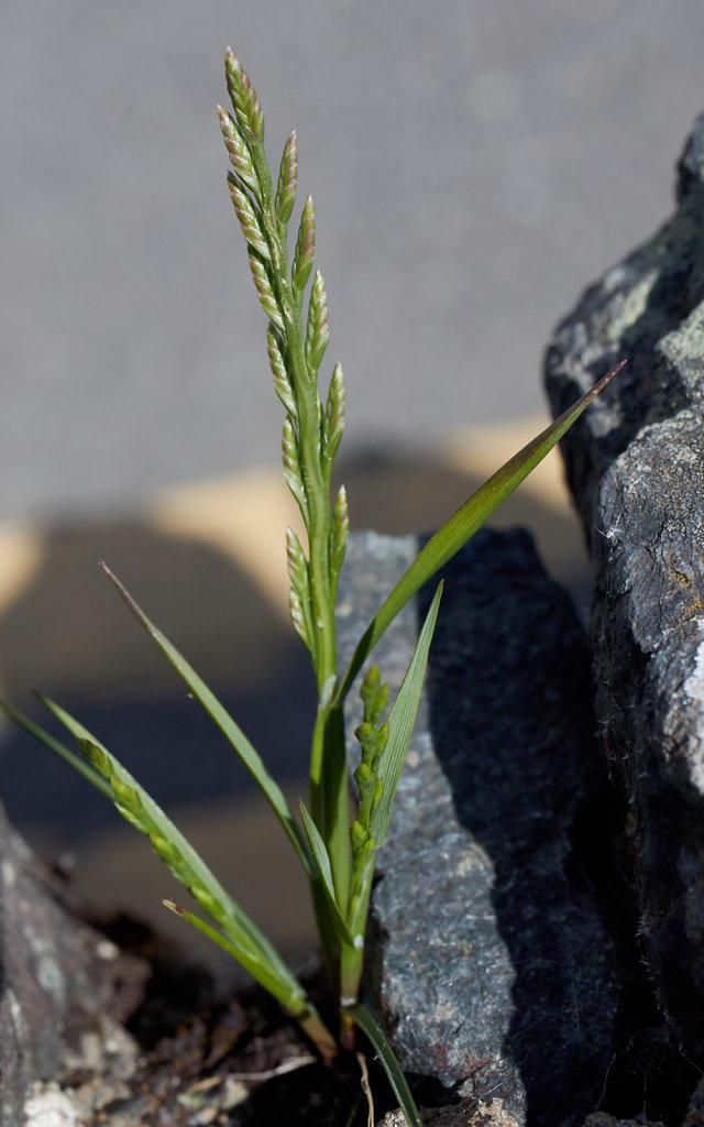 Catapodium marinum (Marine Fern-grass)