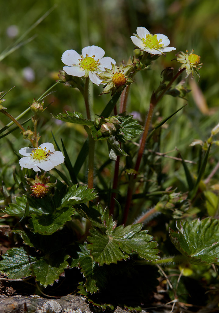 Fragaria vesca (Wild Strawberry)