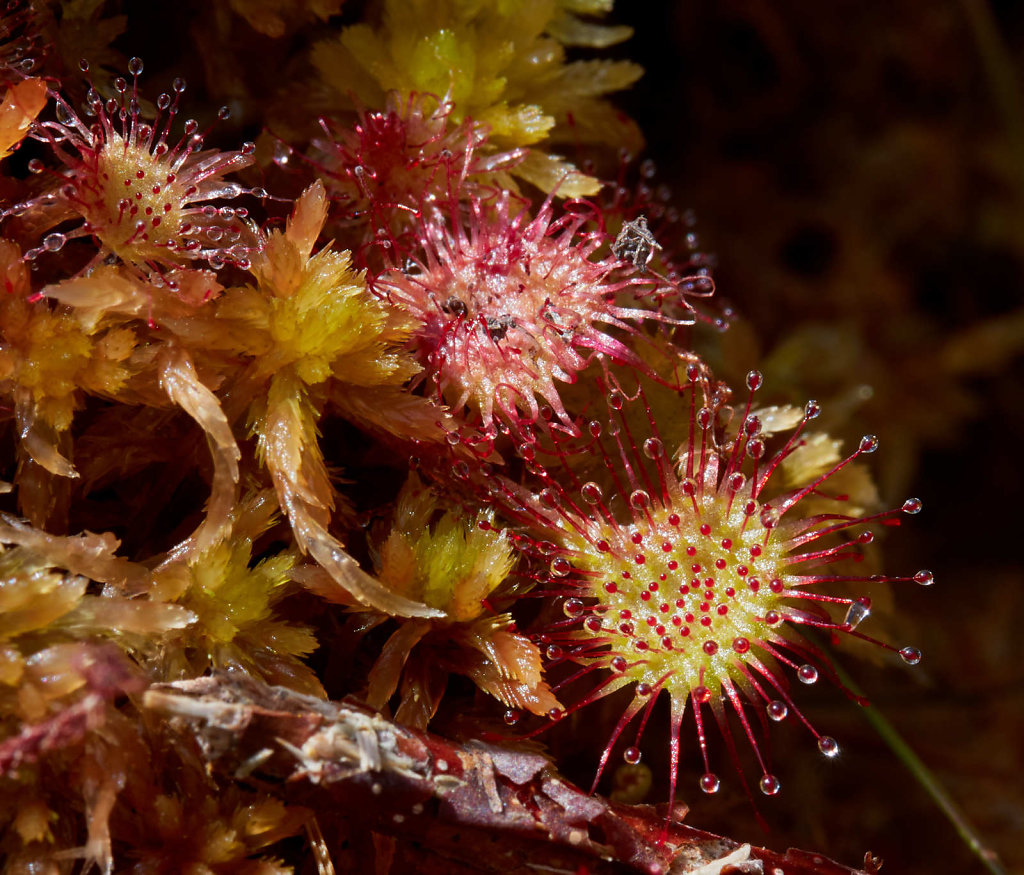 Drosera rotundifolia (Round-leaved Sundew)