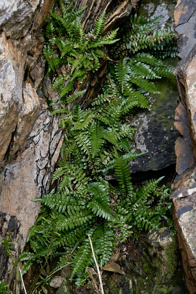 Asplenium marinum (Sea Spleenwort)