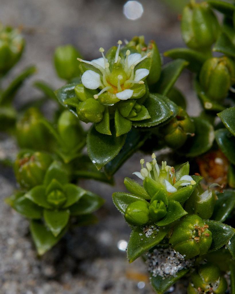 Honckenya peploides (Sea Sandwort)