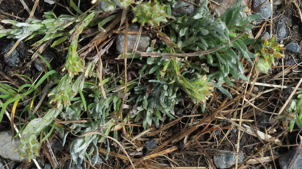 Filago vulgaris (Common Cudweed)