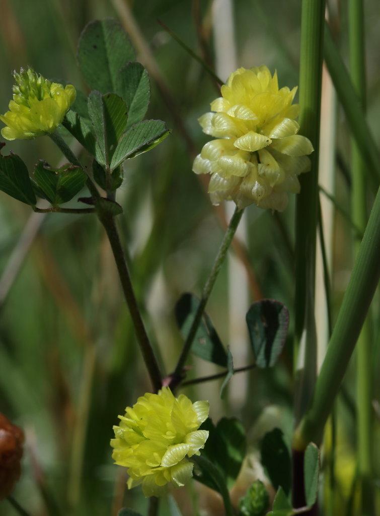 Trifolium campestre (Hop Trefoil)