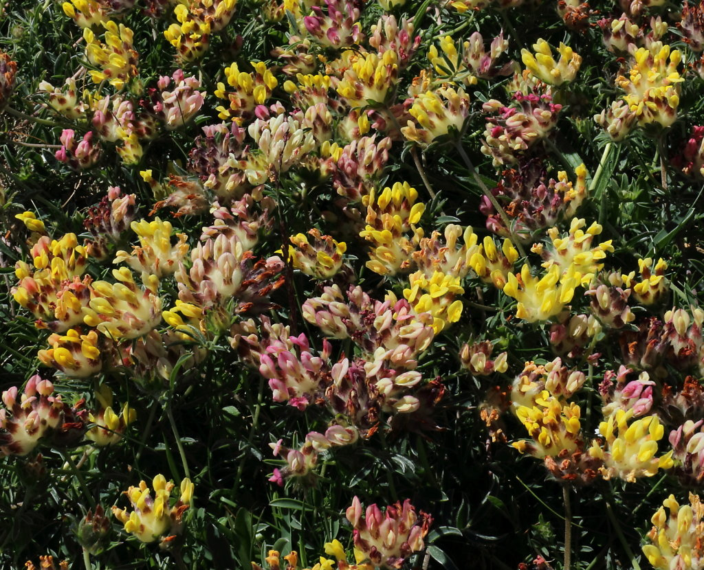 Anthyllis vulneraria (Kidney Vetch)