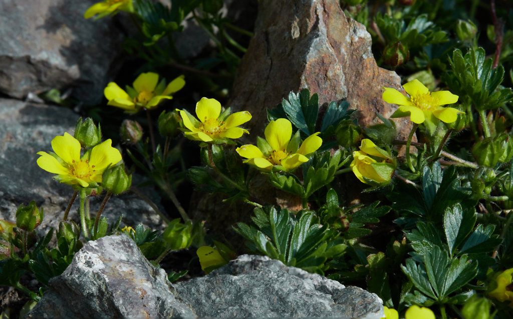 Potentilla verna (Spring Cinquefoil)