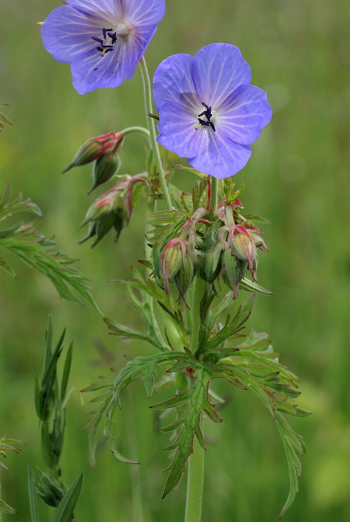 Geranium pratense (Meadow Crane's-bill)