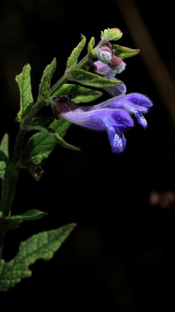 Scutellaria galericulata (Skullcap)