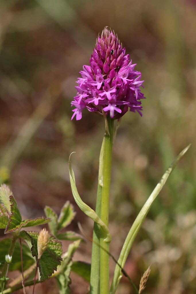 Anacamptis pyramidalis (Pyramidal Orchid)