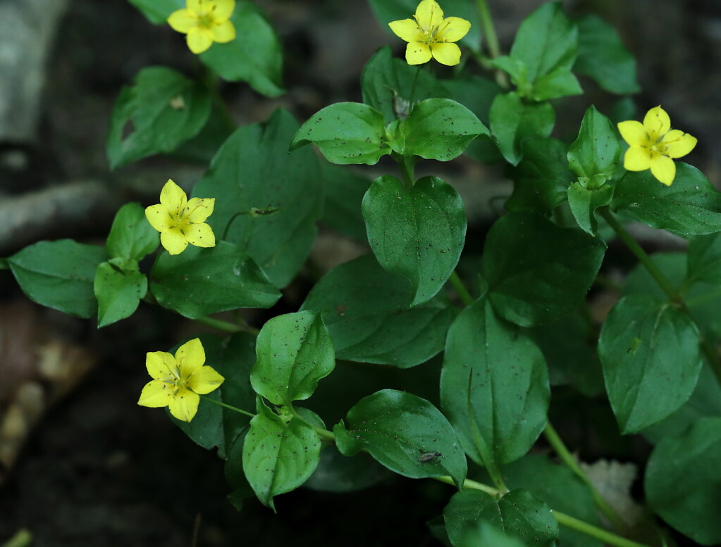 Lysimachia nemorum (Yellow Pimpernel)